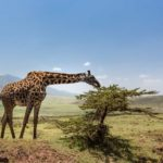 migration safari Giraffe