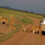 Lions ,Scheduled Safaris