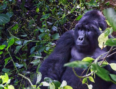Mountain Gorilla | Safari Package, bush & beach safari